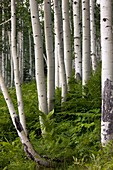 Aspen (Populus tremuloides)