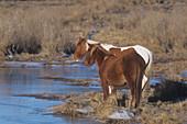 Chincoteague Ponies in a salt marsh habit