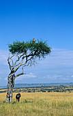 Ruppell's Vulture (Gyps rueppellii)