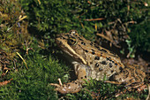 Spotted Frog (Rana pretiosa)