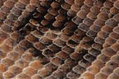 Boa Constrictor scales