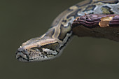 Burmese Python (Python molurus),Asia