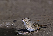 Lincoln's Sparrow at a watering hole