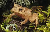 Solomon Island or Eyelash Horned Frog
