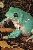 Male Mexican Leaf Frog