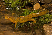 Red-Spotted Newt at the edge of a pond