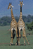 Pair of Masai Giraffes