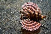 Dwarf lionfish on the seabed