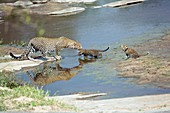 Leopards crossing a river