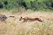 African lioness chasing a zebra