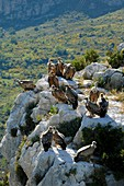 Griffon vultures perched on rocks