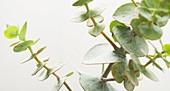 Eucalyptus cinerea 'Pendula' branch