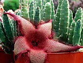 Carrion flower (Stapelia sp.)