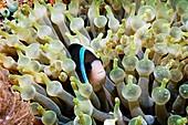 Clarke's anemonefish