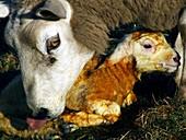 Ewe cleaning a newborn lamb