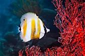 Orange-banded coralfish feeding