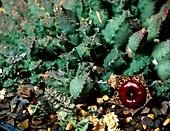 Huernia guttata flower