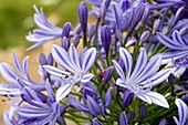 African blue lily (Agapanthus orientalis)