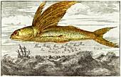 Flying fish,17th century artwork