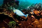 Bignose unicornfish