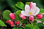 Apple (Malus domestica) blossom