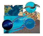 Eel life-cycle,artwork