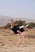 Ostrich in a Nature Reserve