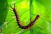 Centipede on a leaf