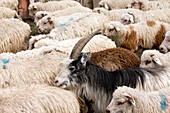 Sheep flock in the Gudani valley