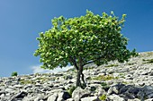 Whitebeam (Sorbus aria)