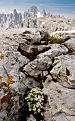 Rock Jasmine (Androsace hausmannii)
