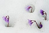 Alpine Snowbell (Soldanella alpina)