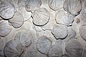 Scallop fossils