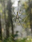 Golden orb-weaver spider