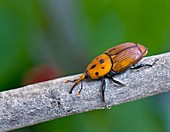 Red palm weevil on a branch