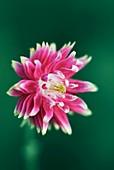 Columbine (Aquilegia sp.) flower
