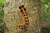 Moth caterpillar on a tree trunk