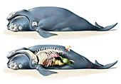 Whale anatomy