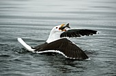 Great black-backed gull with a fish