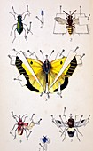 19th Century Insect setting board