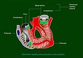 Glomerular anatomy,diagram