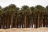 Desert Palm Tree Plantation