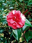 Camellia japonica 'Donckerlarii Improved'