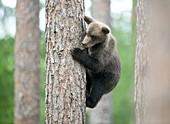 Brown bear cub climbing a tree