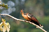 Hoatzin perched in a tree