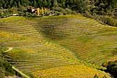 Napa Valley vineyards,USA