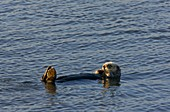 Sea Otter,USA