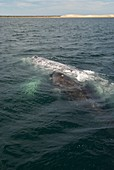 Grey whale with calf