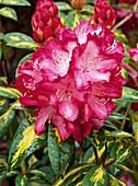 Rhododendron 'President Roosevelt'