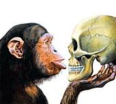 Primate evolution,conceptual artwork